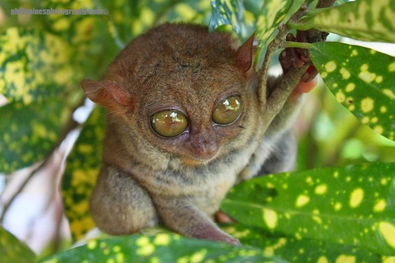 The philippine tarsier is one of the smallest primates on earth