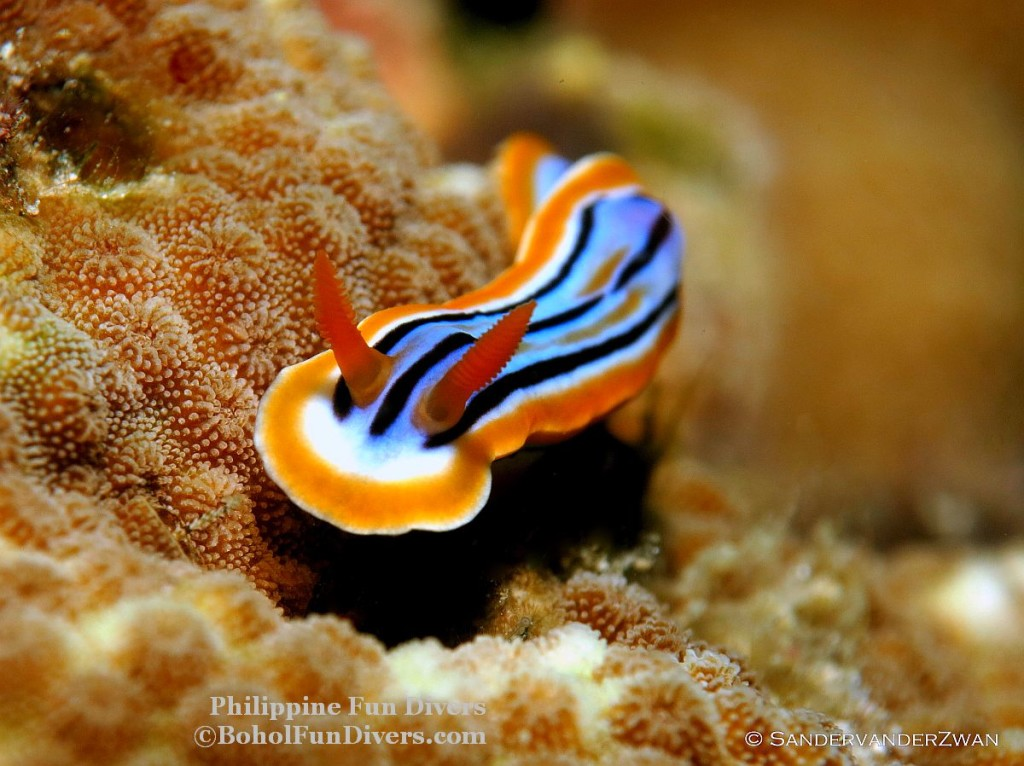 Philippine fun divers nudibranch 15 1024x766